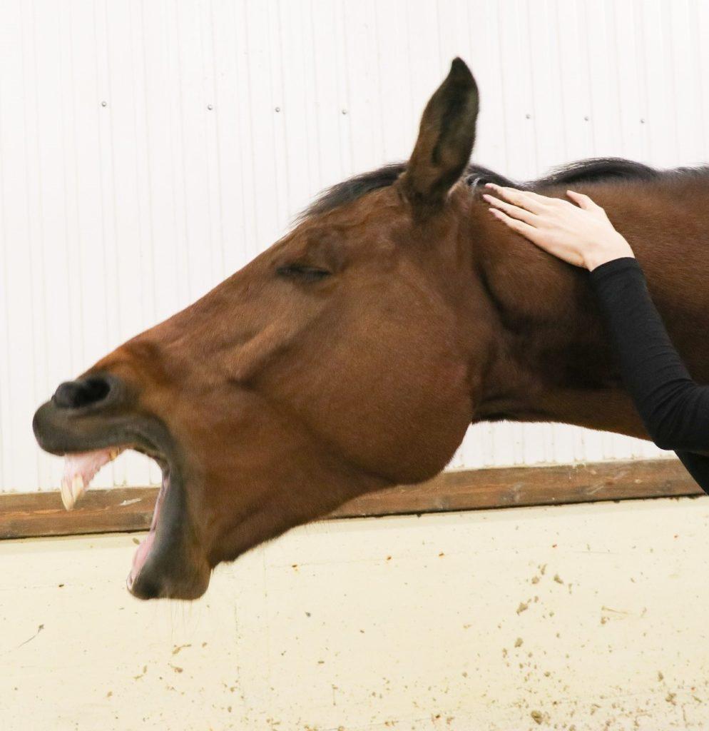Massage relaxation équin