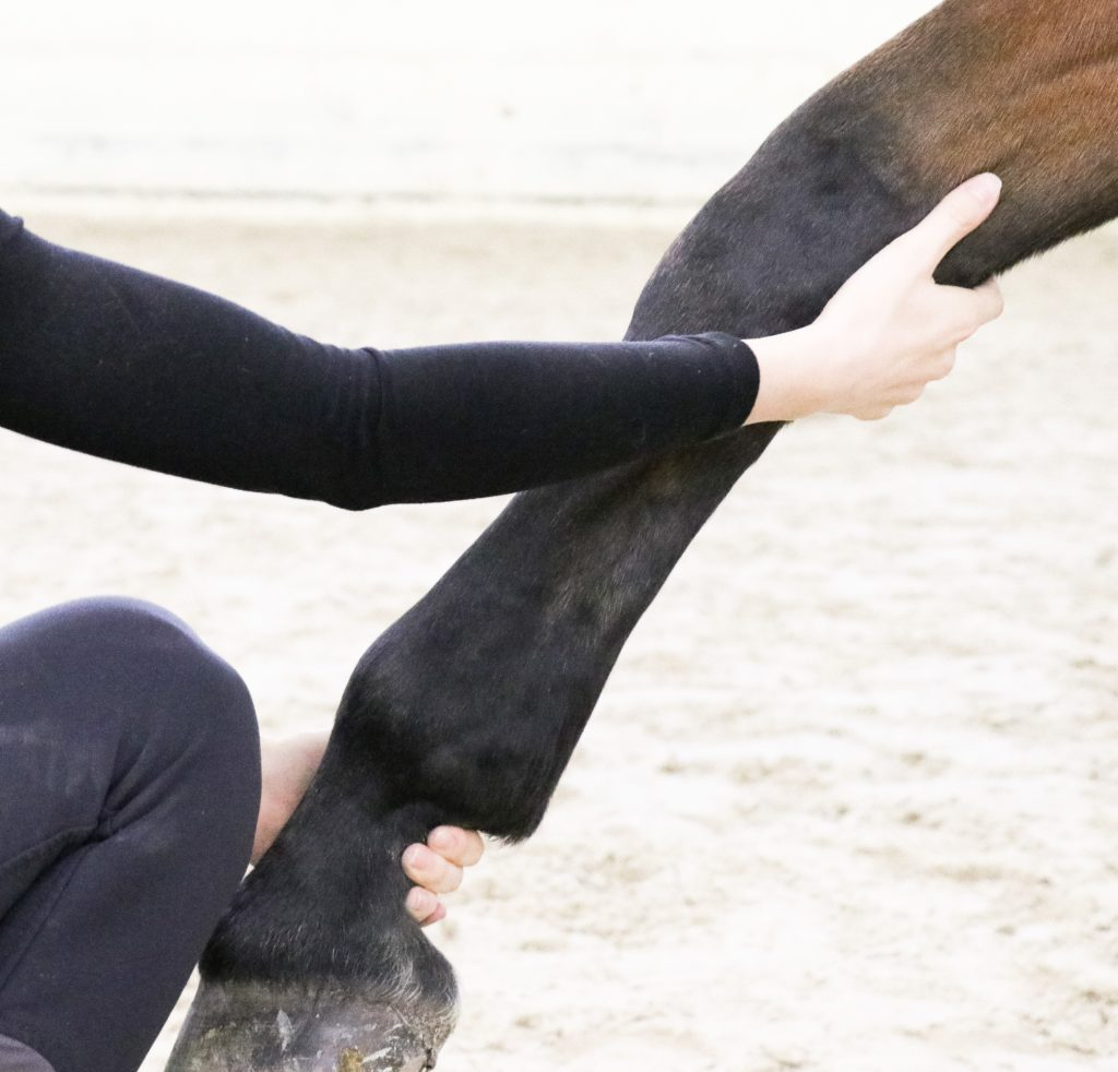Stretching équin